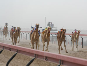 Camels racing in Dubai. (Photo Credit: Michele MacDonald)