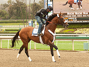 Mucho Macho Man at Santa Anita Feb. 2, 2014.