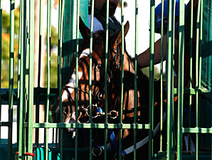 Rachel Alexandra schooling in the gate at Monmouth Park, July 22, 2010.