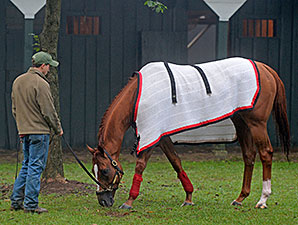 Wise Dan grazing after his work at Saratoga 8/24/2014.